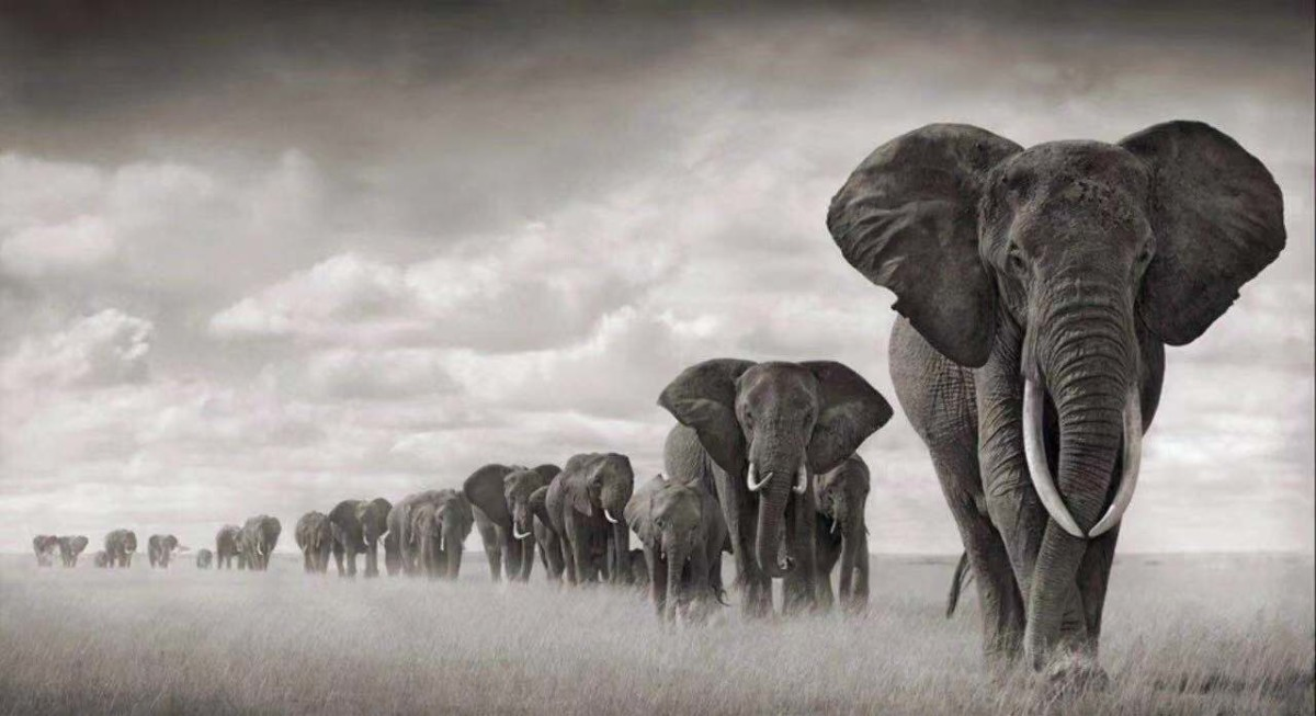 尼克·勃兰特,《Elephants Walking Through Grass, Amboseli》,2008 估价:5-7万美元